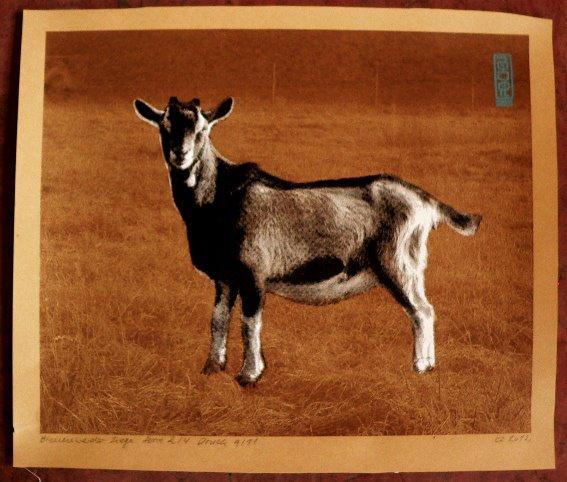 Bienenwerder Goat silkscreenprint 01 by Gabba Reifenstihl