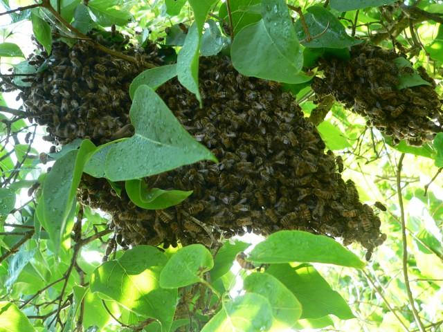 Bienen Trauben
