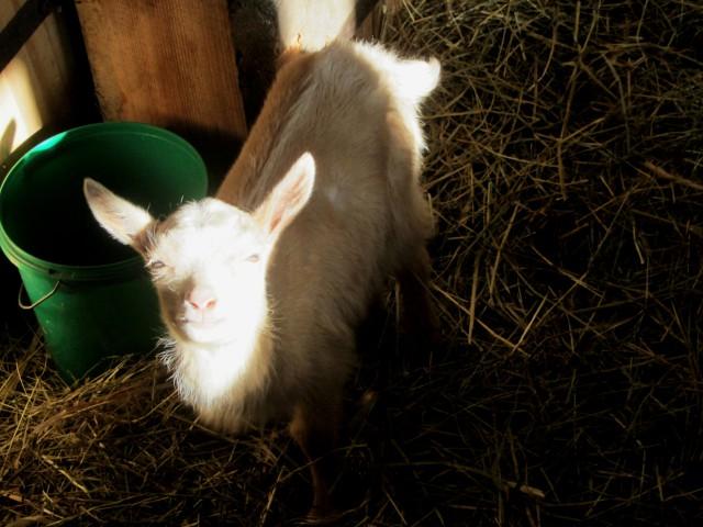 kid goat bienenwerder